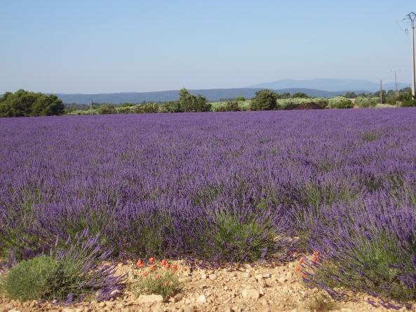 Champ de lavande fleuri en Provence