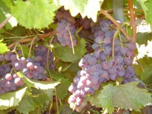 Raison presque mûr, nearly rioe grapes