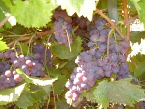 Raison presque mûr, nearly rioe grapes