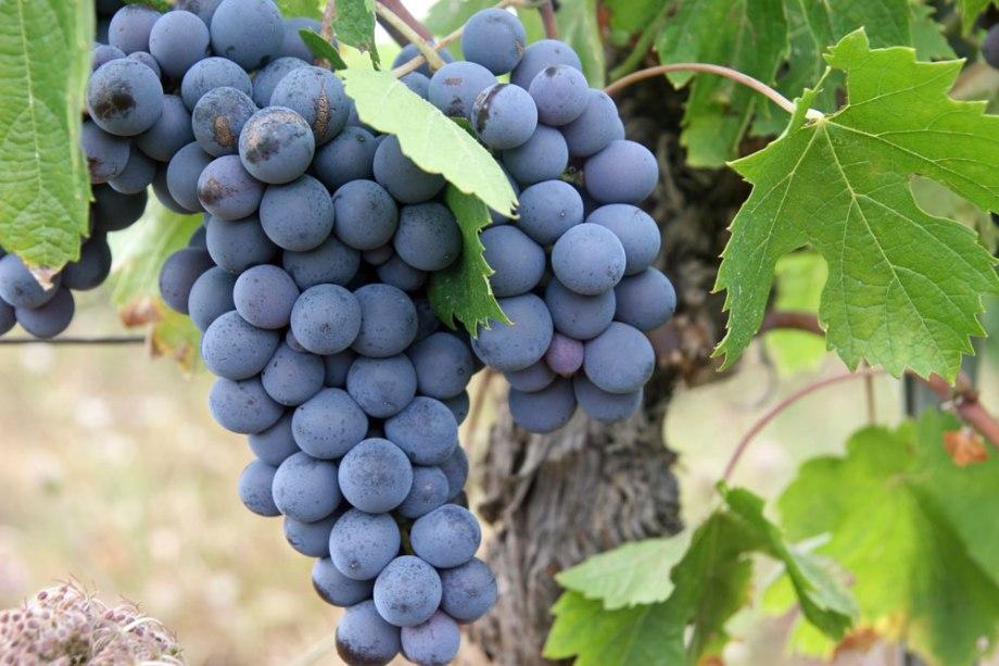 raisin noir mûr
