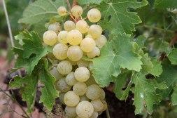 grappe du raisin blanc